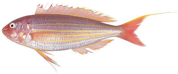 Golden thread fin bream picture